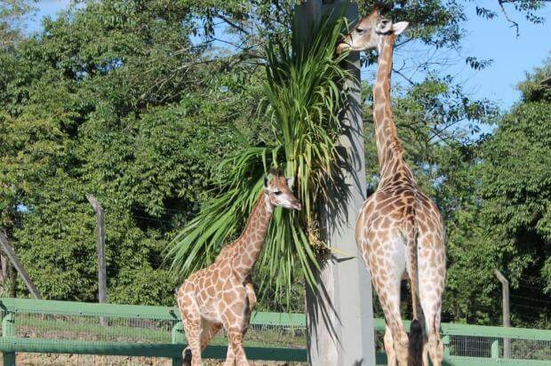 Zoo Pomerode nos arredores de Blumenau: Girafas