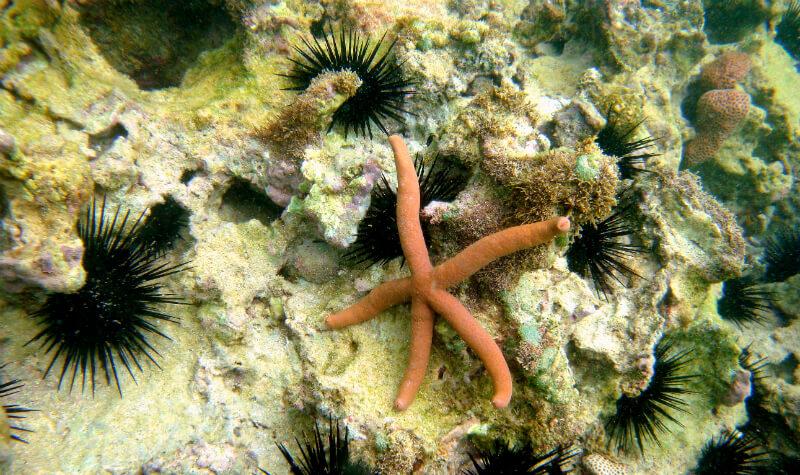 Estrela do mar encontrada nos corais das piscinas naturais de Maragogi em Maceió